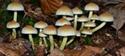 Falsas creencias sobre las setas tóxicas